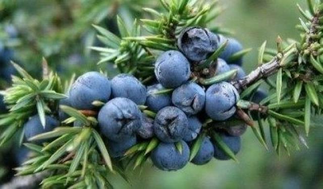 Kleka (Juniperus communis) - Lekovita dejstva moćne biljke kleke