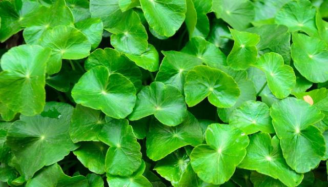 Gotu kola - čudotvorna biljka protiv starenja i za bolje zdravlje!