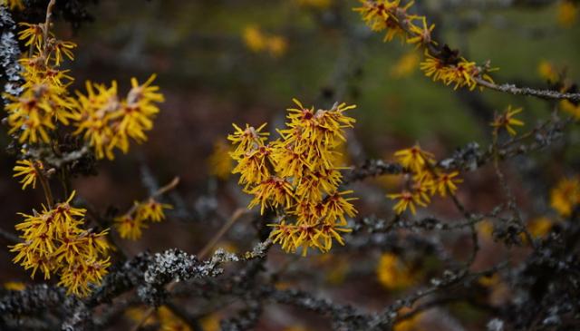 Hamamelis - biljka koja se već dugo koristi za umanjenje bola