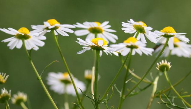 Kamilica - neverovatna lekovita biljka koja ima puno lekovitih svojstava
